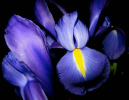 Iris 7 by WimskryBee