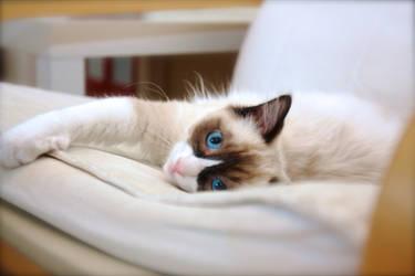 Ragdoll Kitten by WimskryBee