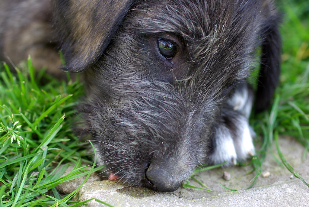 Irish Wolfhound Puppy by Big-Diddy