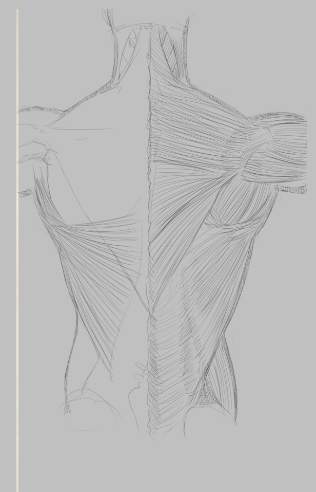 [Image: back_muscles_by_75ilver-d53xk01.png]