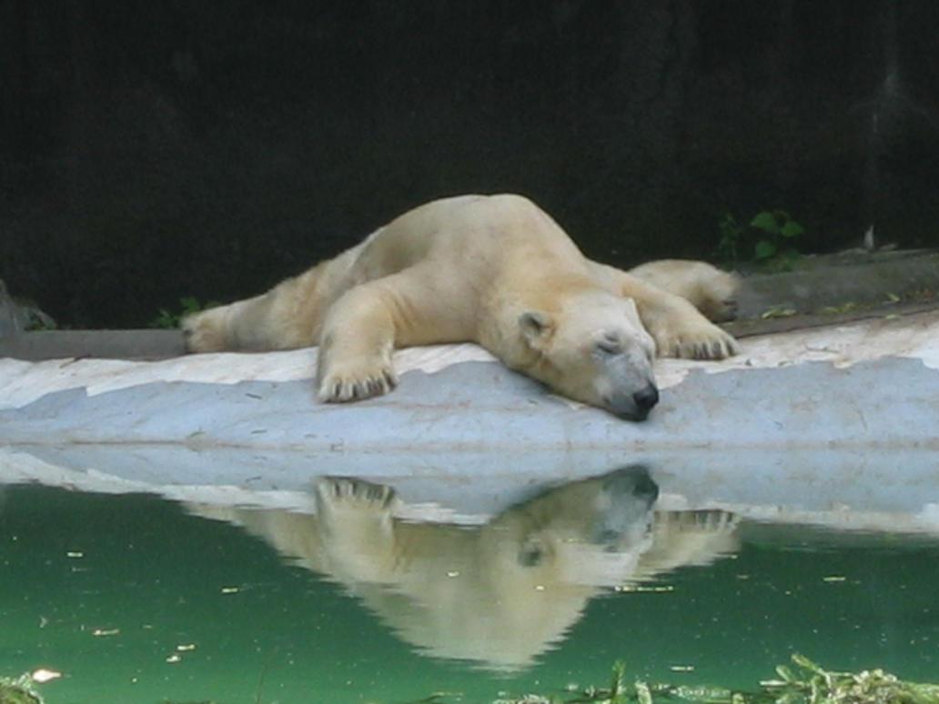 A polar bear's reflection by Eldarwen333