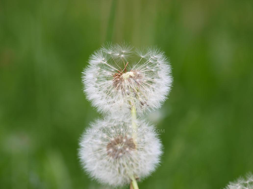 dandelion by Klofan