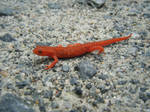 Eastern Red-Spotted Newt from North Carolina