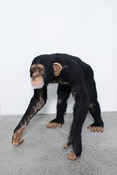 Chimpanzee, life-sized by kiyoshimino