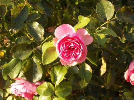volle Rosenbluete 2