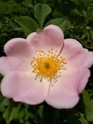 wild bush rose - wilde Buschrose