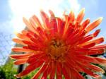 Chrysanthemum in the sun