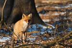 Red fox -Vulpes vulpes-