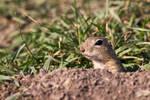 European ground squirrel III.