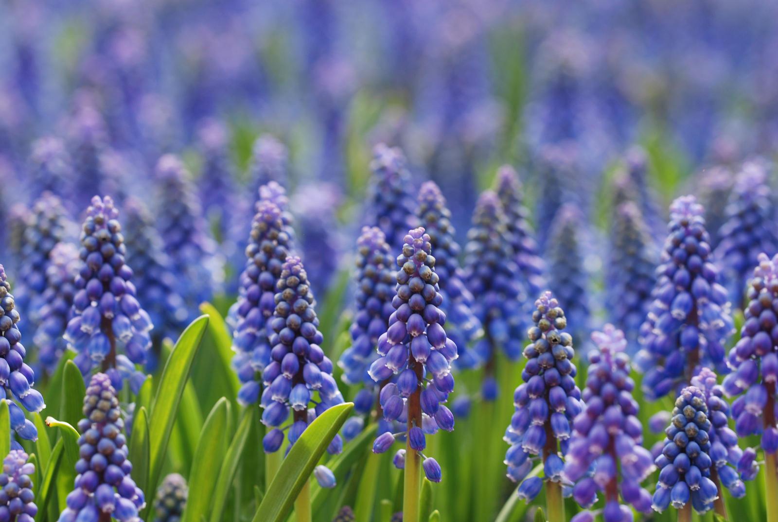 Grape Hyacinth by MatthewLCH