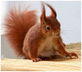 Squirrel by Denis90