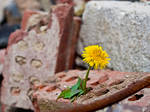 Flower in demolition area