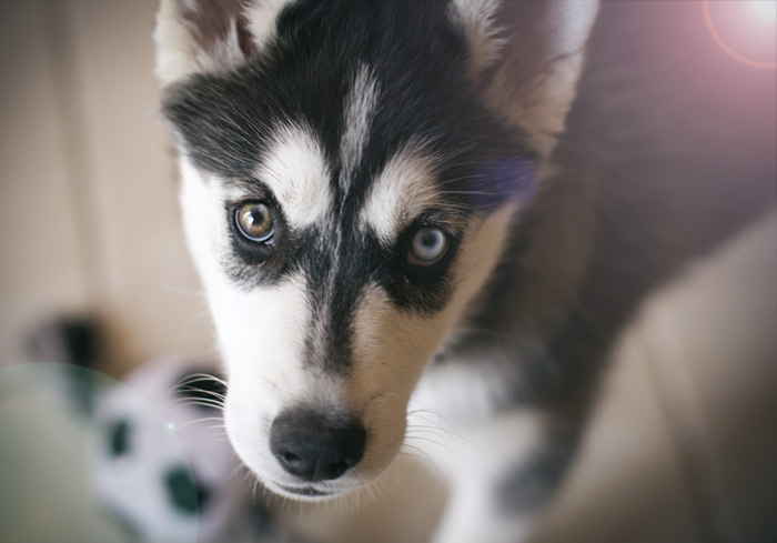 Husky puppy by Lorellia