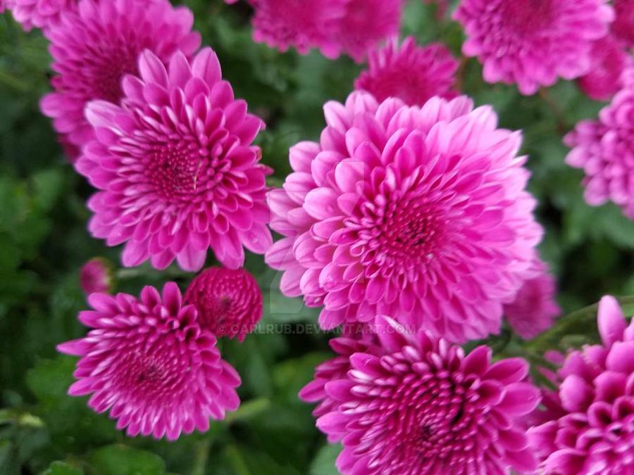 my flowers  by carlrub
