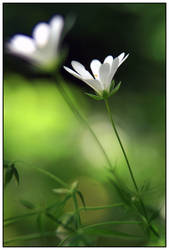 flower... by iacobvasile
