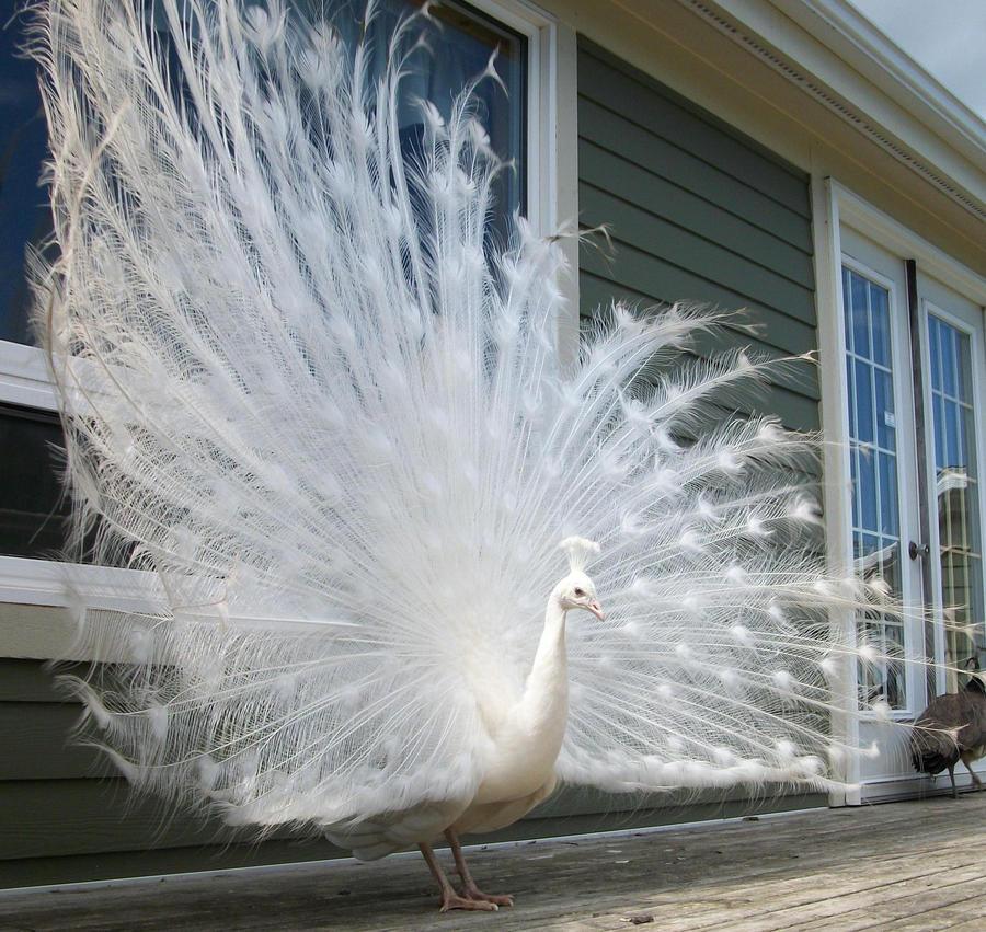 Albino Peacock by EternalSurvivor