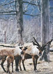 Caribou Family