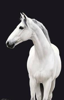 Grey Horse Study