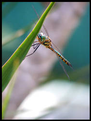 Yet Another Dragonfly I