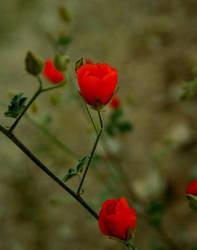Lipstick Poppys