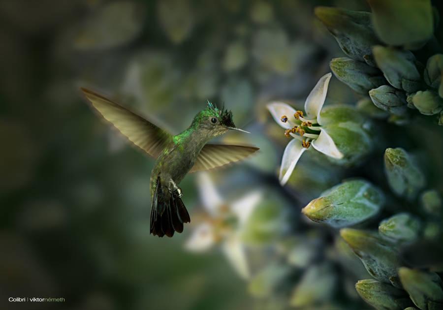Colibri by viktornemeth