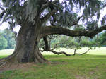 Live Oak Tree XVII - Stock