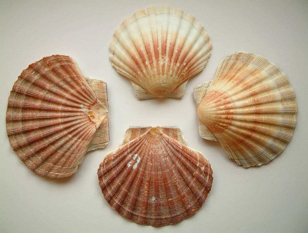 requiemstock - Scallop Shells