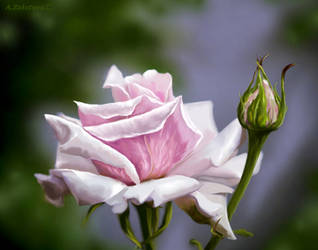 Pink Rose by AnnaZLove