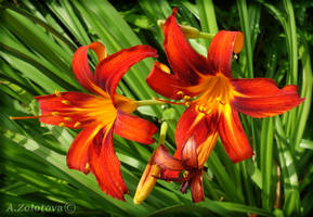Garden Day lilies 1 by AnnaZLove
