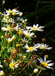Wild Daisies 1