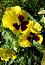 Yellow Blotch Pansies 1