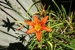 The sun-drenched Lily