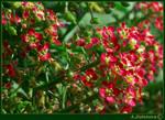 Lilliputian flowers 1