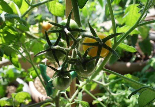 Shy tomatoes