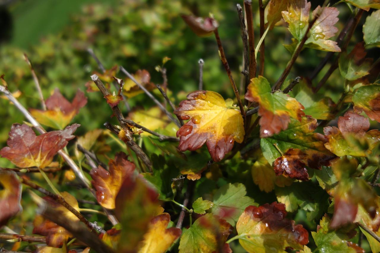 Autumn. Bush after rain 2