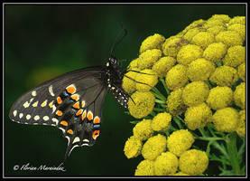 Papillon du Celeri 2 by Ptimac