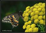 Papillon du Celeri 2
