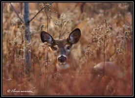 Deer 5 by Ptimac