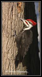 Pileated Woodpecker 2 by Ptimac
