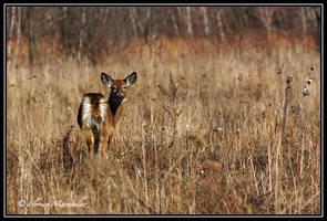 Deer 7 by Ptimac