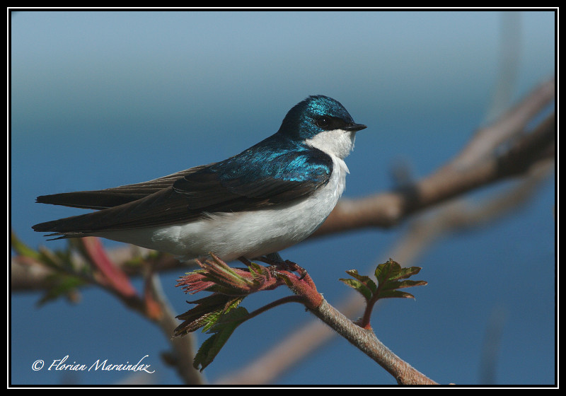 Swallow 5 by Ptimac