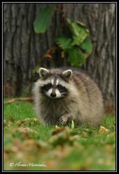 Raccoon 3 by Ptimac