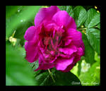 Tree Rose in Full Bloom by Jenna-Rose