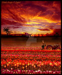Sunset in the Tulip Field