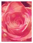 A Rose for Jen