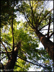 Tall Tall Trees by Jenna-Rose