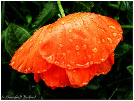 Weeping Poppy