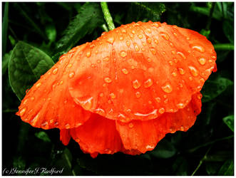 Weeping Poppy by Jenna-Rose