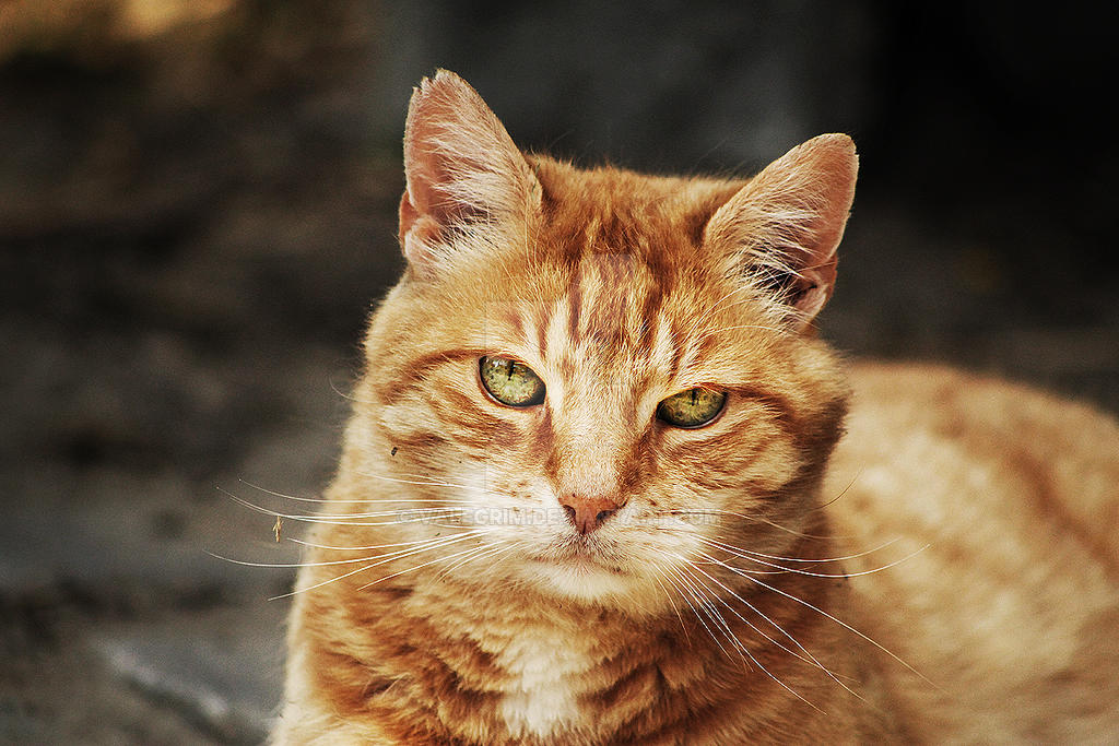 Portrait of a Cat by Valegrim