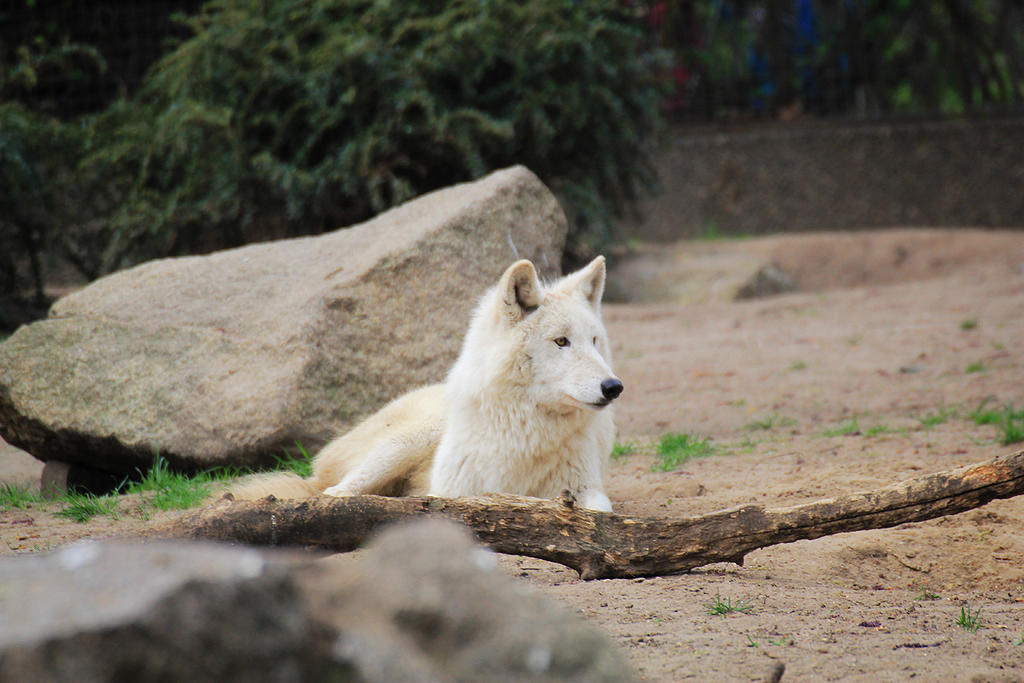 Wolf by Valegrim